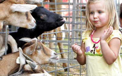 Maggie Spadea, 3 yrs. old, of Chesterfield County, feeds the pygmy goats at the petting zoo during  her family's visit to the opening day of the State Fair of Virginia at The Meadow Event Park in Doswell Va.,  Friday. Sept. 28, 2012.(AP Photo/Richmond Times-Dispatch,Mark Gormus) ** Usable by LA and DC Only **