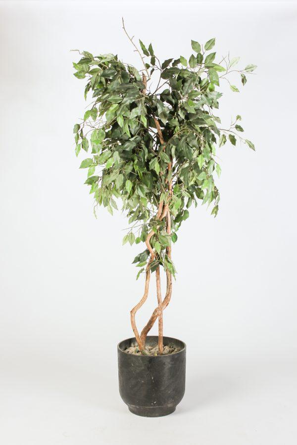 INV487-Fig Tree