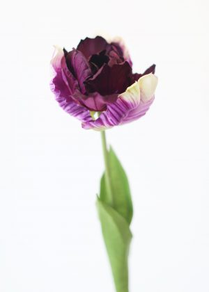 Tulip – Parrot – Purple – 2